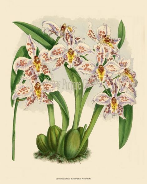 Fine art print of the Orchid Odontoglossum Alexandrae Plumatum by John Nugent Fitch